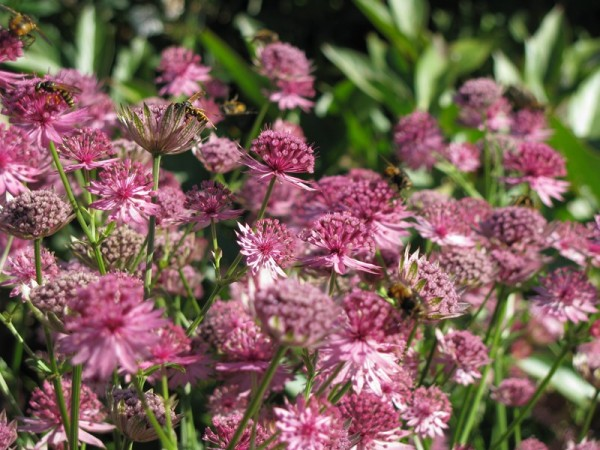 Sterndolde - Astrantia major ´Roma`